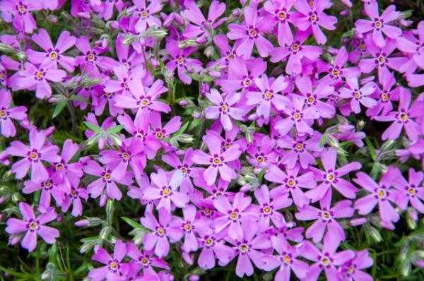 phlox-flower-1.jpg