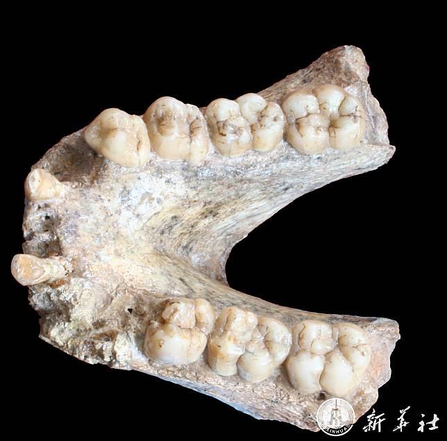นักวิทย์จีนร่วมกู้สารพันธุกรรมจากฟอสซิล 'ลิงยักษ์' อายุ 1.9 ล้านปี
