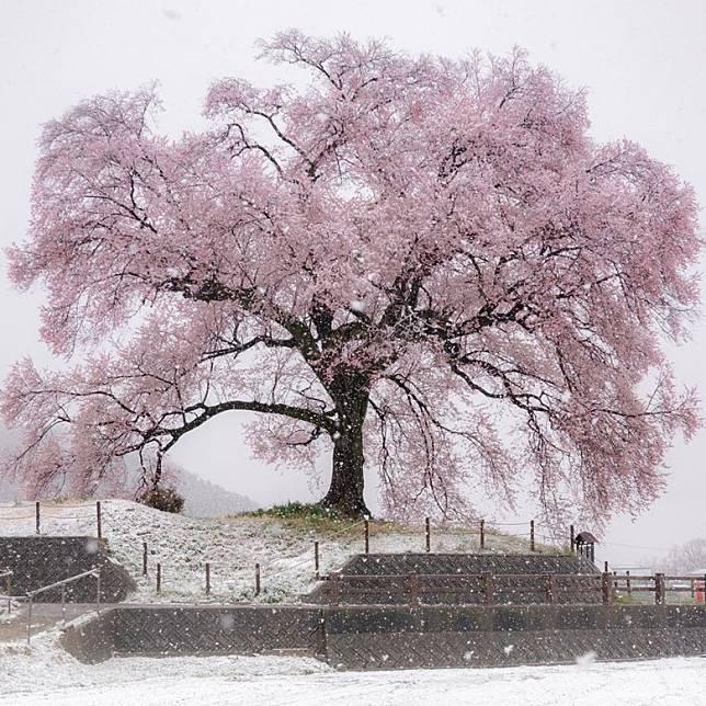 用沾上了雪花的鏡頭拍下還沒變白的櫻花,在鏡頭下留下兩個季節同時存在的證明。(互聯網)