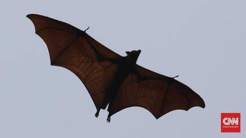 Hewan Pembawa 137 Virus Penyakit Adalah Kelelawar