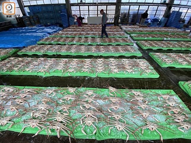 午夜出海撈獲的蟹,午後便可放上拍賣市場,隻隻生猛。(劉達衡攝)