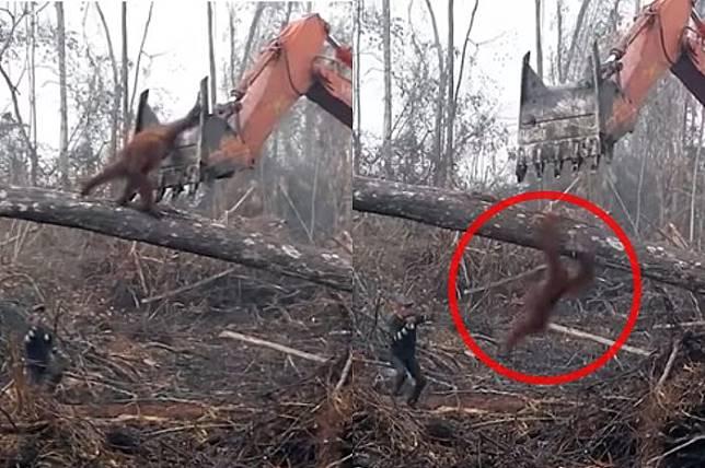 Miris, Video Orang Utan Tantang Buldozer yang Babat Hutan Kalimantan Barat Masuk Dokumenter Internasional