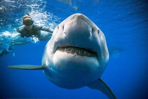 @oceanramsey / http://OneOceanDiving.Com / AFP โอเชี่ยน แรมซีย์ นักดำน้ำว่ายน้ำข้างฉลามขาวยักษ์เพศเมียที่ถูกพบเห็นนอกชายฝั่งฮาวายเมื่อวันที่ 15 มกราคม 2562