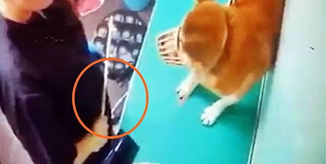 柴犬被藤條打。影片截圖