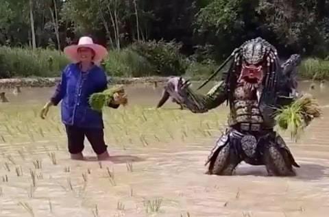 Kocak, Petani yang Menanam Padi dengan Memakai Kostum Predator