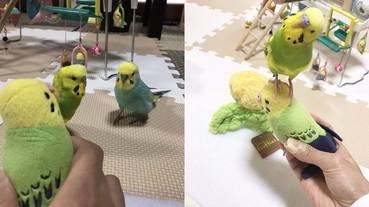 為什麼不會動呢?主人拿「假娃娃」逗鳥 牠們驚呆的表情超可愛!