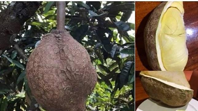 Durian tanpa duri. (Twitter/BalqisSidiqia)