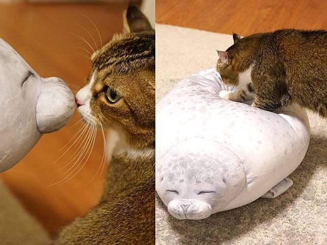 貓咪試躺新買海豹抱枕 表情動作竟神還原網笑:上面那隻怎賣?