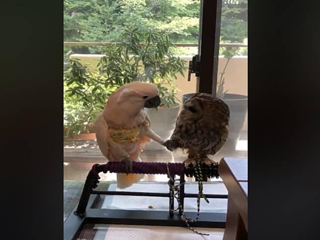交個朋友嘛!鸚鵡對貓頭鷹示好 偷親伸腳撩羽毛仍慘遭拒絕