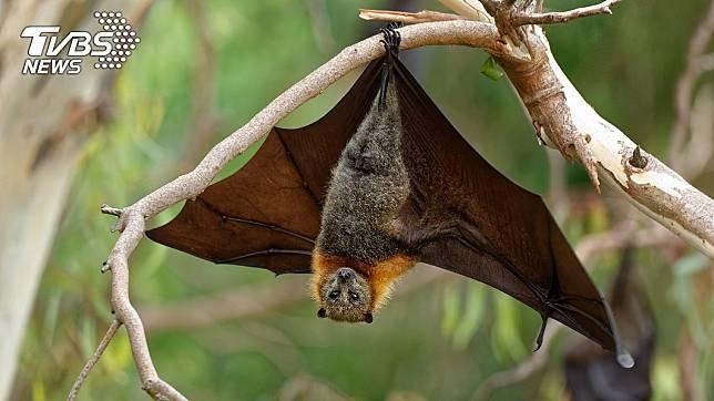 印度連日來出現蝙蝠大量死亡暴斃的情況。(TVBS資料示意圖)