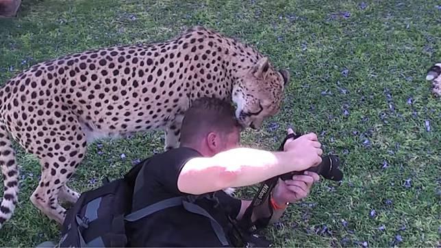 攝影師頭部突然遭到獵豹含住。圖/翻攝自YouTube