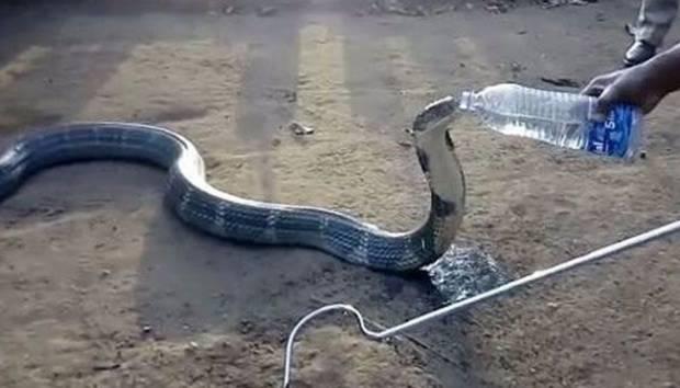 Wow, Ular King Kobra Minum dari Botol Air Mineral