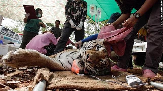 86 dari 147 harimau yang disita pemerintah Thailand mati karena virus. Sumber: edition.cnn.com