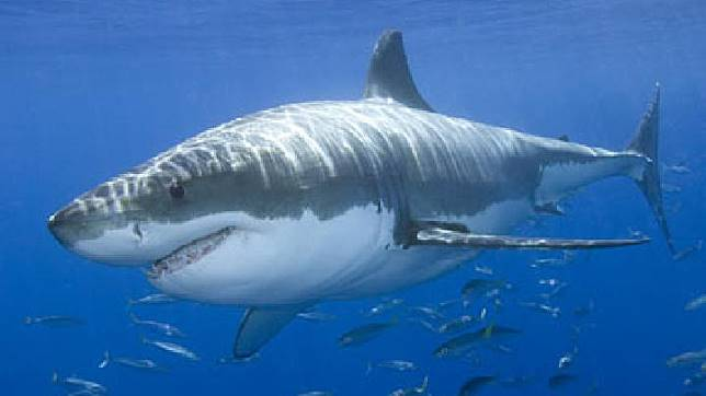 Dunia Satwa Ini 3 Jenis Ikan Hiu Yang Sangat Mematikan