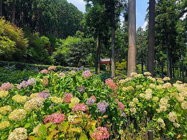 比起神戶市立森林植物園,三室戶寺有更多不同顏色的花。