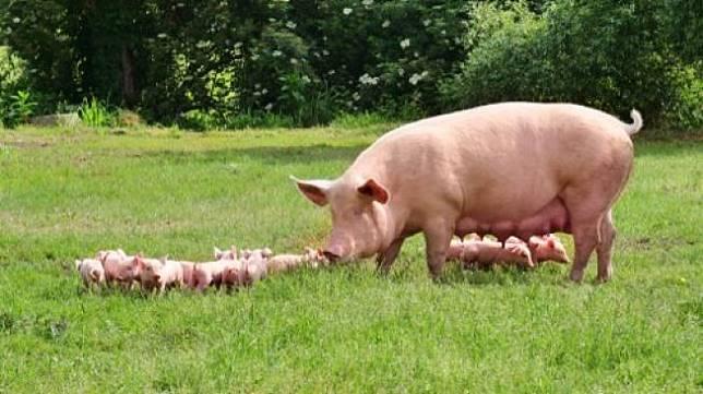 Ilustrasi induk babi dan anak-anaknya. [Shutterstock]
