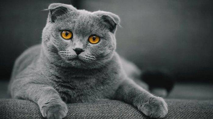 9 Kucing Ini Miliki Harga Fantastis Belasan Juta Hingga Miliaran Rupiah Jenis Apa Saja Tribun Style Line Today