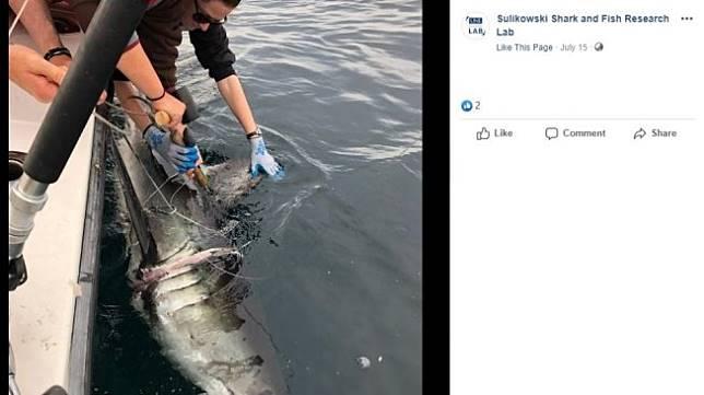 Hiu langka yang terlilit plastik. (Facebook/ Sulikowski Shark and Fish Research Lab)