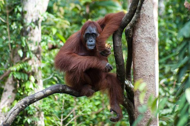 Orangutan in the branches above the feeding station at Tanjung Puting National Park, Central Kalimantan.