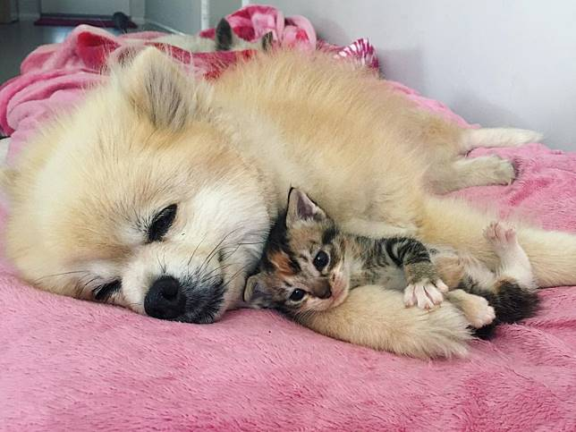 小浪貓失去貓同伴好悲傷 轉身撲向博美犬當小跟屁蟲!