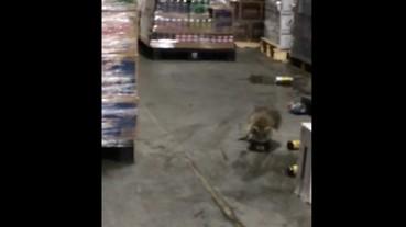 這隻浣熊闖入一家啤酒廠後 頓時間失去了方向...