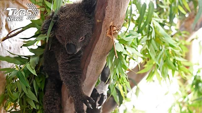 澳洲野火肆虐數月,無尾熊死傷慘重。(圖/達志影像路透社)