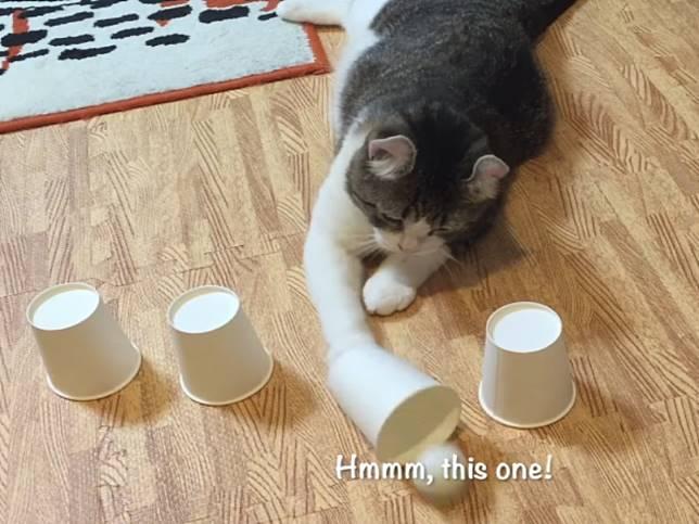 貓咪玩猜杯子遊戲 主子每猜必中網驚嘆:是賭神!