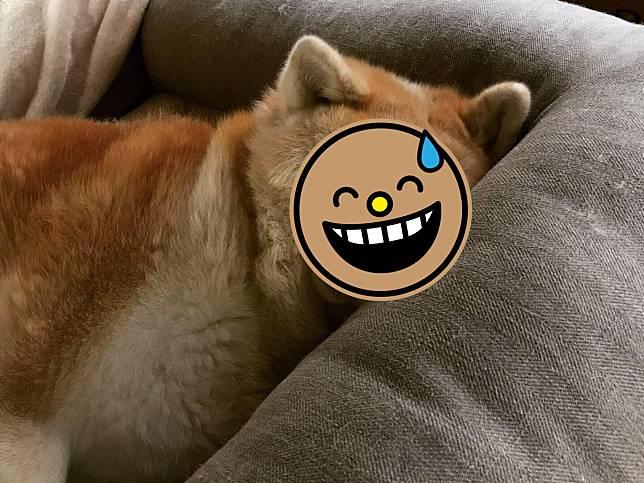 秋田犬睡覺就會擠到臉全變形 網一看驚:你的眼睛呢?