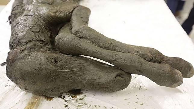 Mumi bayi kuda yang ditemukan di Rusia.
