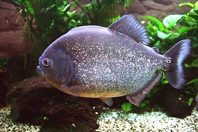 Ikan Mirip Piranha Menjadi Ancaman Para Makhluk Laut Era Jurassic