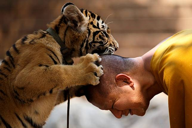 A Buddhist monk plays with a tiger at the Wat Pa Luang Ta Bua, otherwise known as Tiger Temple, in Kanchanaburi province February 12, 2015.