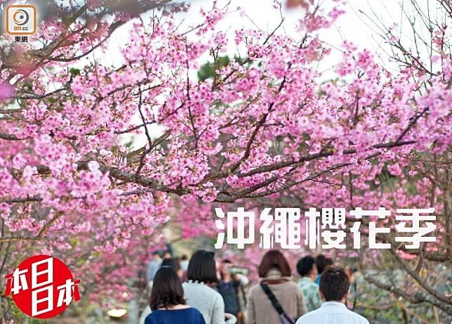 沖繩於1月下旬開始,於縣內不同地方均會舉行櫻花祭!(互聯網)