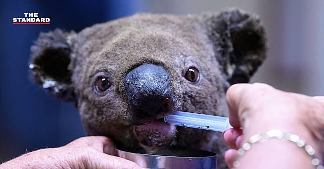 GoFundMe เผย ยอดบริจาคช่วยเหลือหมีโคอาลาที่บาดเจ็บจากไฟป่าทะลุ 1 ล้านดอลลาร์ออสเตรเลียแล้ว