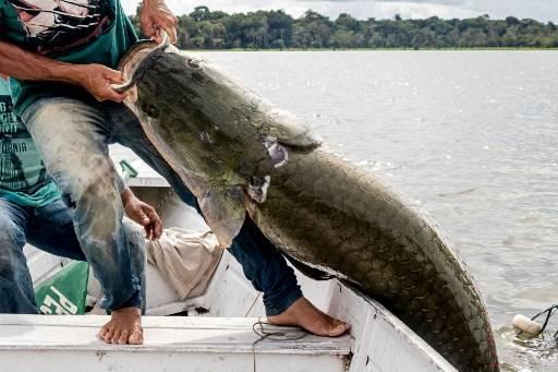 ปลาช่อนยักษ์แอมะซอน มีจำนวนเพิ่มขึ้น 190,000 ตัวเมื่อปีที่แล้ว HO / Mamiraua Institute of Sustainable Development / AFP