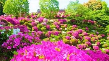 【黃金週必去】京都杜鵑x紫藤園