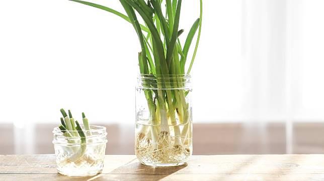 將葱白浸泡在水中,便可保鮮兼讓其繼續生長。(互聯網)