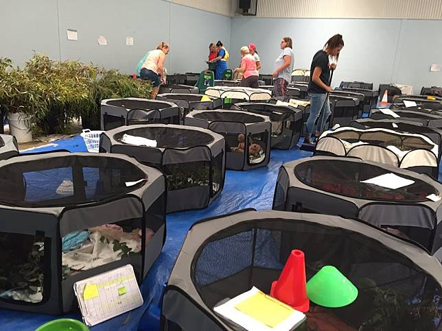 澳洲學校開放體育館 搭帳篷收容上百隻無家可歸的無尾熊!