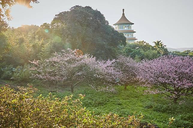 走進浪漫櫻花稼期    淡水天元宮賞三色櫻花海