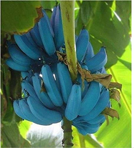 Pisang Biru yang Indah, Bagaimana Rasanya?