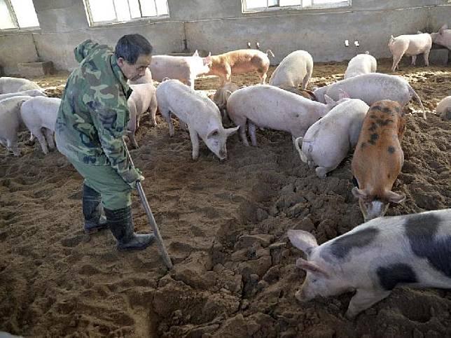 Peternakan babi di Cina [The Weekly Times]