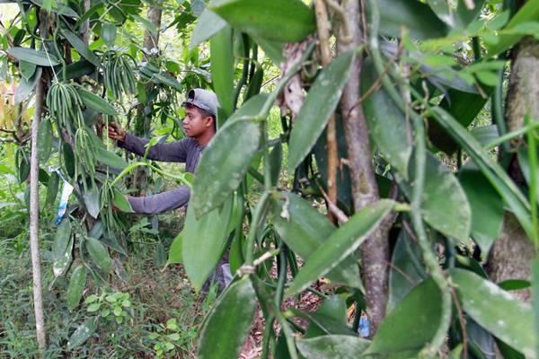 Ilustrasi petani merawat tanaman vanili. Komoditas vanili merupakan salah satu andalan ekspor Nusa Tenggara Barat./Bisnis/Paulus Tandi Bone