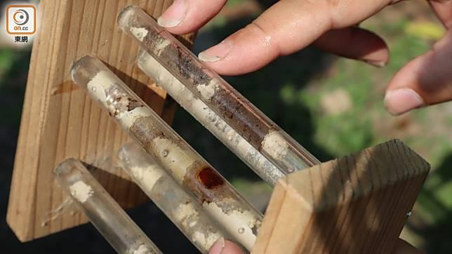 你可透過透明小管道,把竹蜂的巢看得一清二楚。(劉達衡攝)