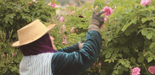 法國現採玫瑰 為肌膚充滿「愛戀」能量