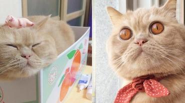 超萌黃金貓,圓滾滾大眼就是牠的特徵!