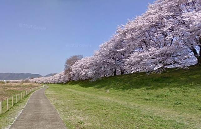 淀河川公公園是京都著名的賞櫻勝地。(互聯網)