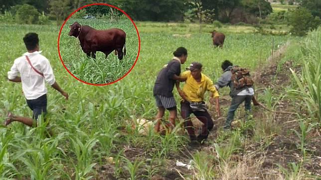 วัวคลั่ง