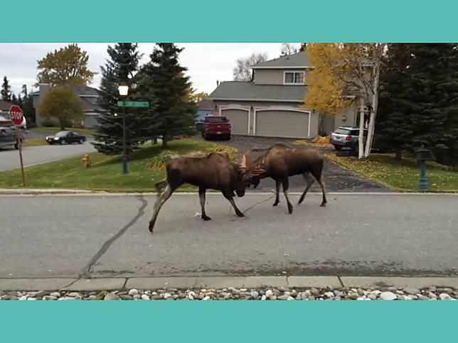 街上驚見兩隻大駝鹿賣力拚輸贏 背景叫聲卻笑翻網友!
