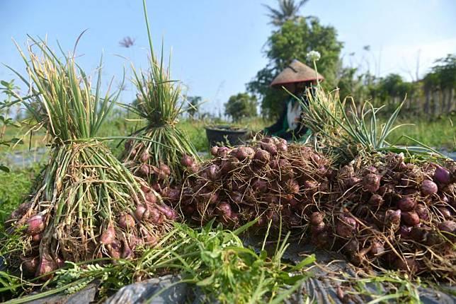 Pemkab Gunung Kidul Dukung Petani Pesisir Tanam Bawang Merah (ilustrasi).