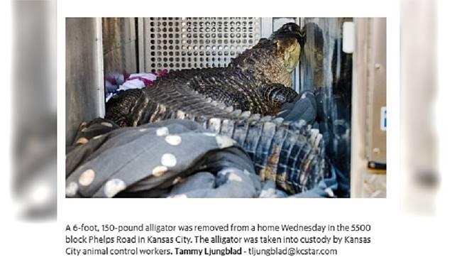 房客擅自飼養「鱷魚」。圖/翻攝自《THE KANSAS CITY STAR.》