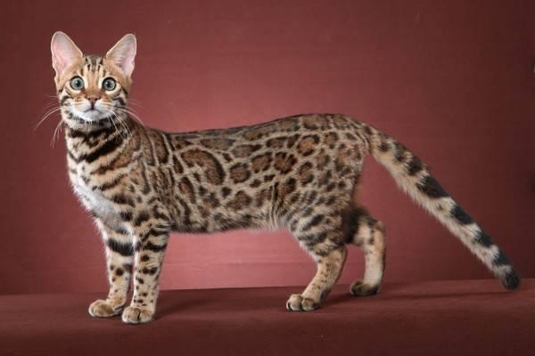 Inilah Beberapa Kucing Hibrida Terpopuler dengan Gaya yang Eksotis